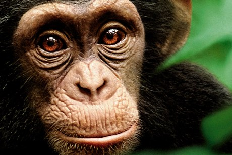 Honorable Mention: Oscar the Chimpanzee