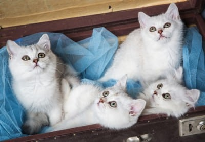 four white kittens