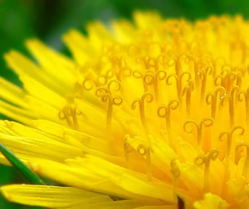 Dandelion found growing in girl's ear