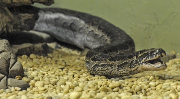 Africian Rock Python