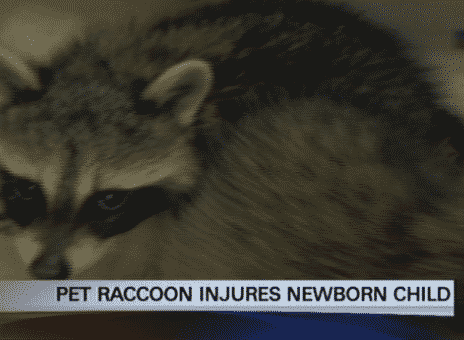 raccoon attacks newborn