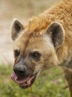 Hyenas Ate Mans Genitals