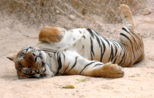 """What is """"tiger"""" parenting? How does it affect children?"""