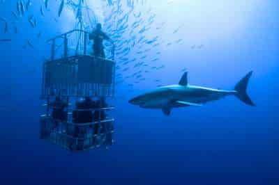 shark diving in cage