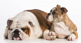 bored-bulldogs