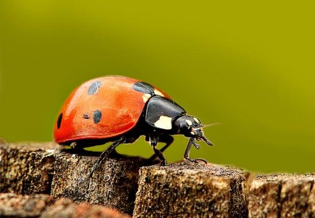 ladybug-crawling-on-rock