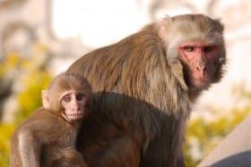 rhesus-monkeys