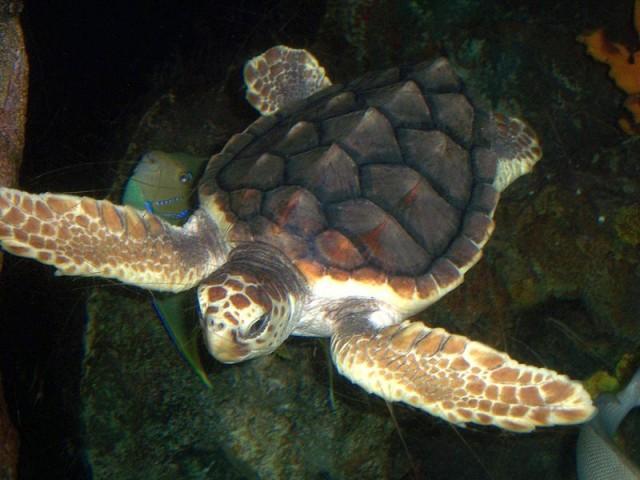 800px-Loggerhead_turtle