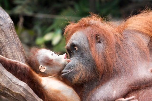 orangutans - communication
