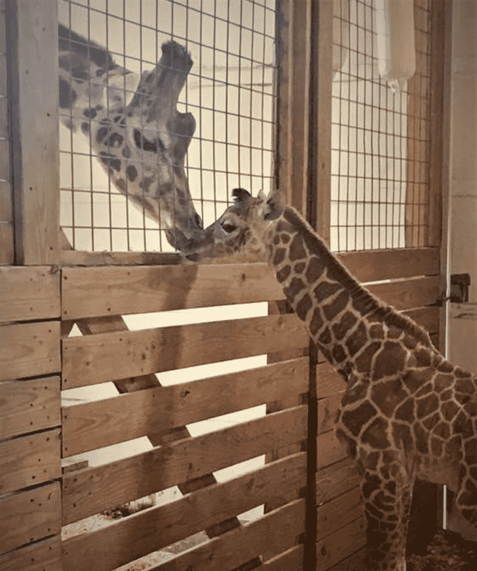April the Giraffe and her calf