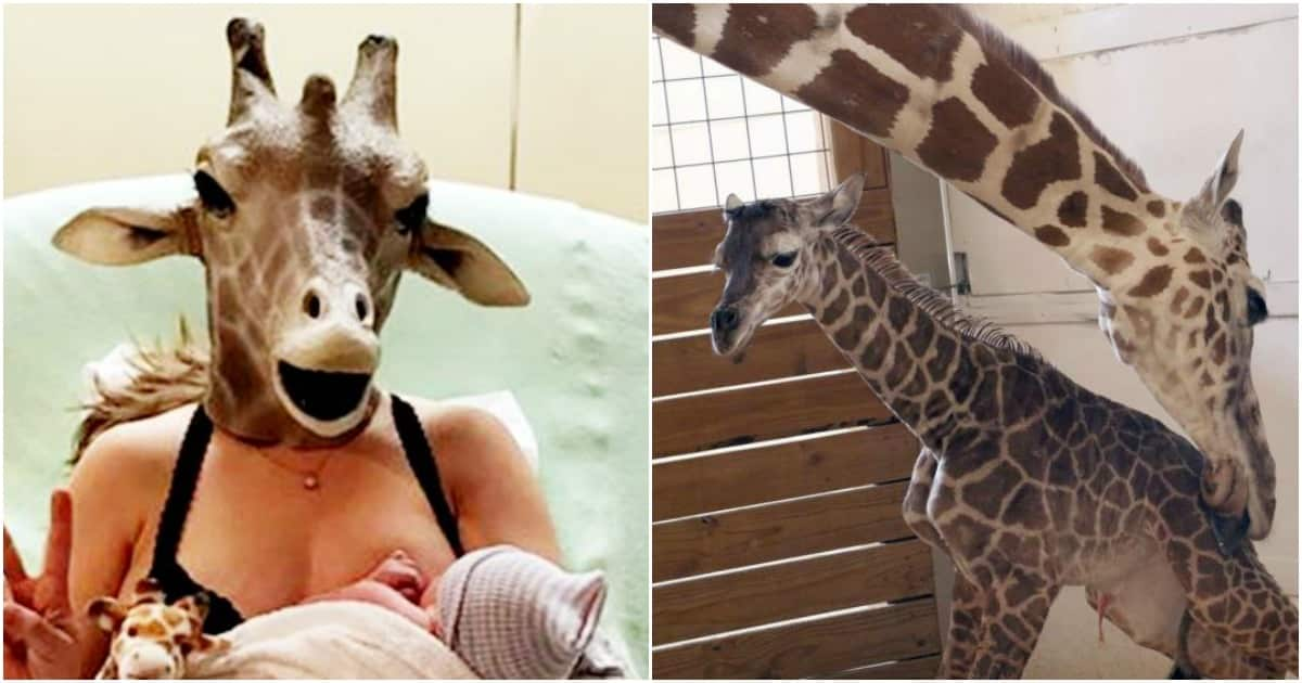 april the giraffee