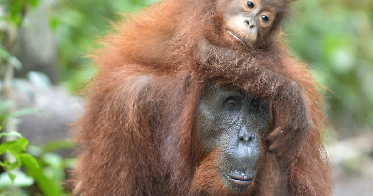 orangutan mom