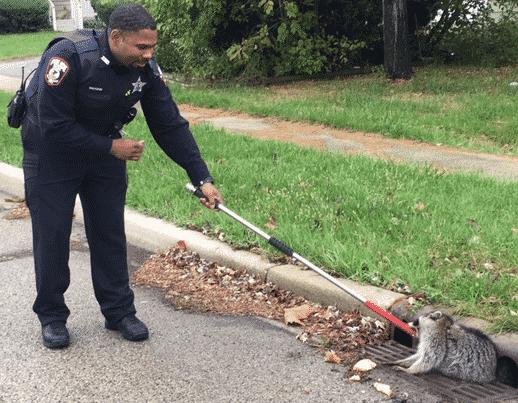Raccoon stuck in sewer grate