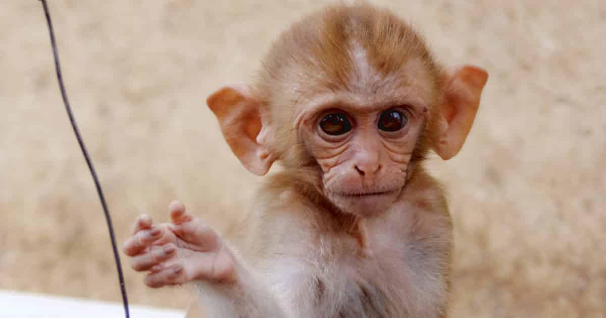 couple steals monkeys
