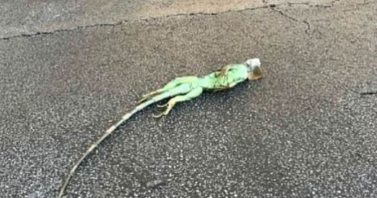 Cold Florida temps causing iguanas to 'freeze,' fall out of trees