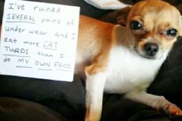 Cat Poop Eating Dog