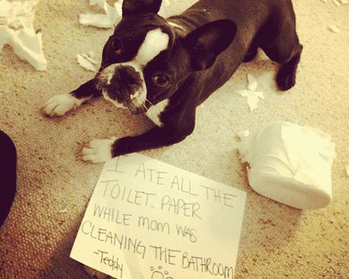 Guilty Dog Eats Toilet Paper