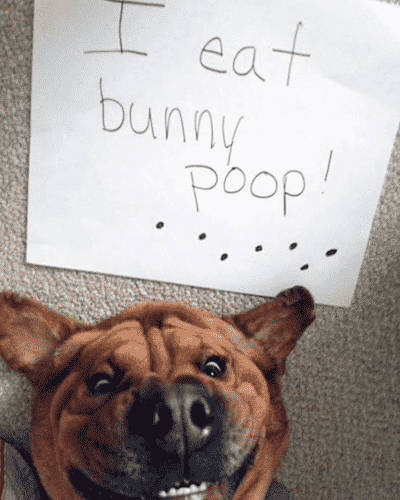 Guilty Dog Photo Almost Scary Eats bunny poop