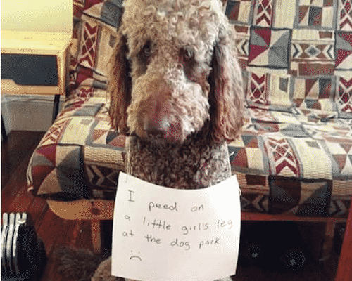 Poodle Ruins Little Girls Day