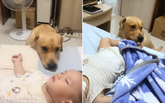 Video of A Golden Lab Protecting Newborn Baby